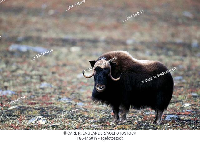 Adult male muskox on fall tundra, Ovibos moschatus, Northwest Territories, Canada