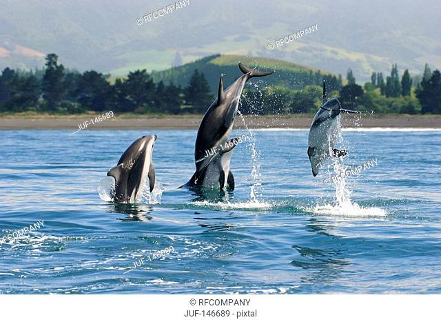 Hectors Dolphins - jumping / Cephalorhynchus hectori