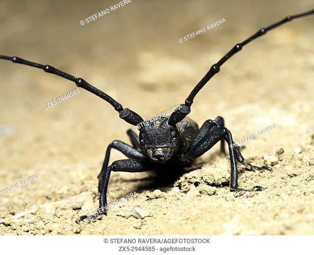 Morimus asper beetle - Italy