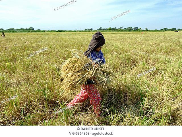 MYANMAR, SARMALAUD, 08.11.2015, MMR , MYANMAR / BURMA / BIRMA : A worker harvesting rice near Yangon / Rangoon , 08.11.2015 - Sarmalaud, Ayeyarwady Division