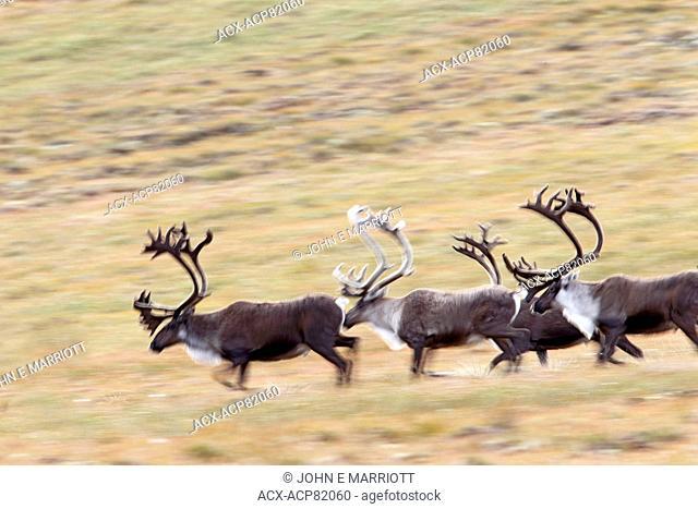 Caribou bulls running