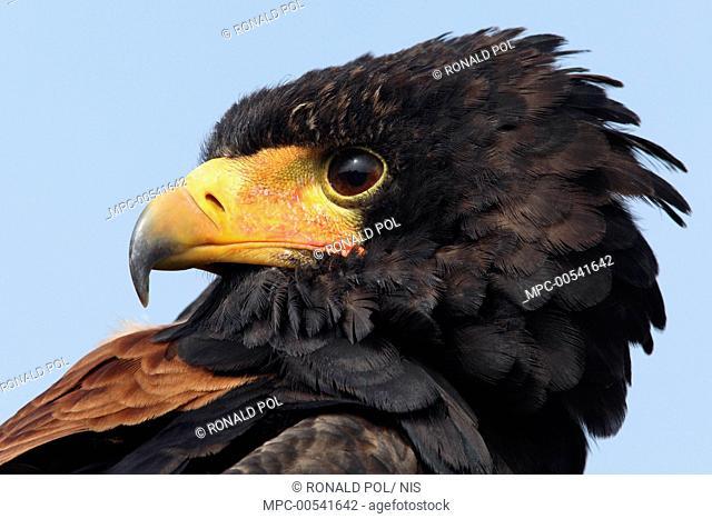Bateleur Eagle (Terathopius ecaudatus), Overijssel, Netherlands
