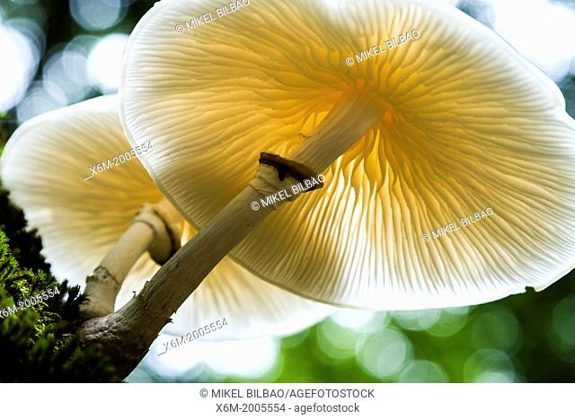 Porcelaine fungus (Oudemansiella mucida). Monte Santiago Natural Monument. Burgos, Castile and Leon, Spain, Europe