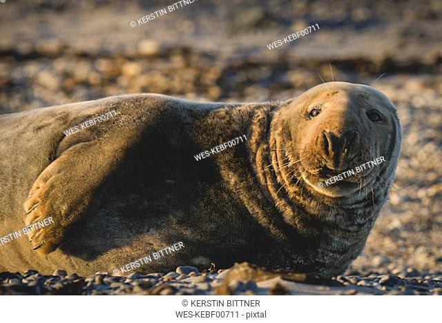 Germany, Helgoland, portrait of male grey seal lying on the beach at sunset