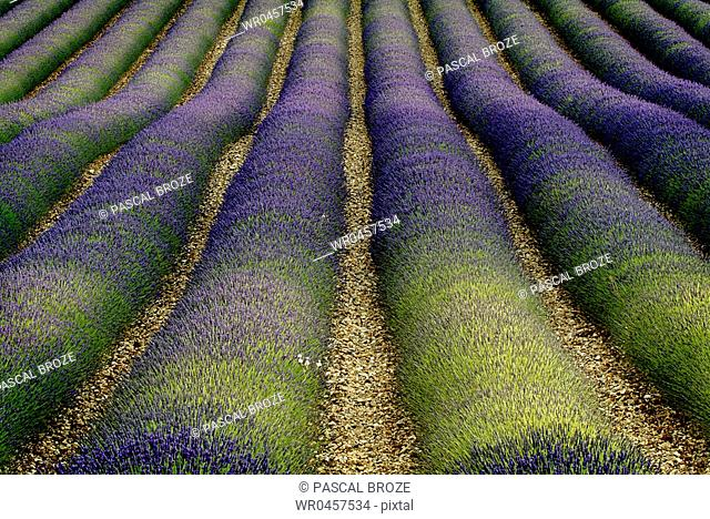 Lavender crops in a field, Provence, France