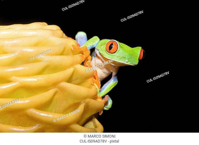 Red-eyed tree frog (Agalychnis Callidryas) on yellow flowerhead, Costa Rica