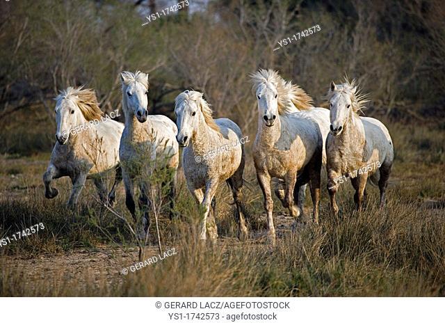Camargue Horses, Herd standing in Swamp, Saintes Marie de la Mer in Camargue, South of France