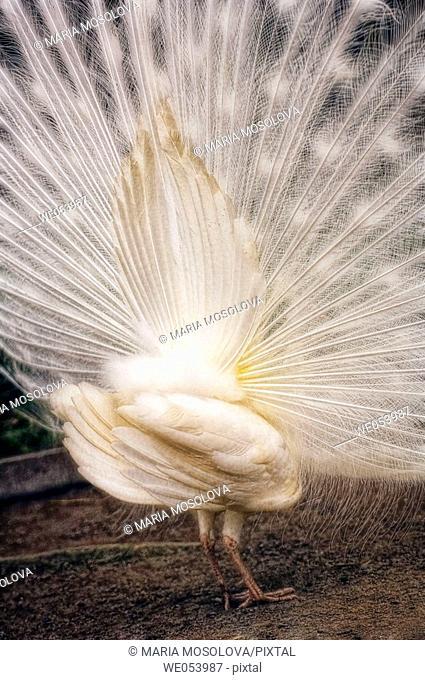 White Peacock. Pavo cristatus. March 2006. South Carolina, USA