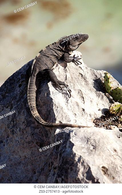 Iguana sitting on the rocks, Tulum Ruins, Quintana Roo, Yucatan Province, Mexico, Central America