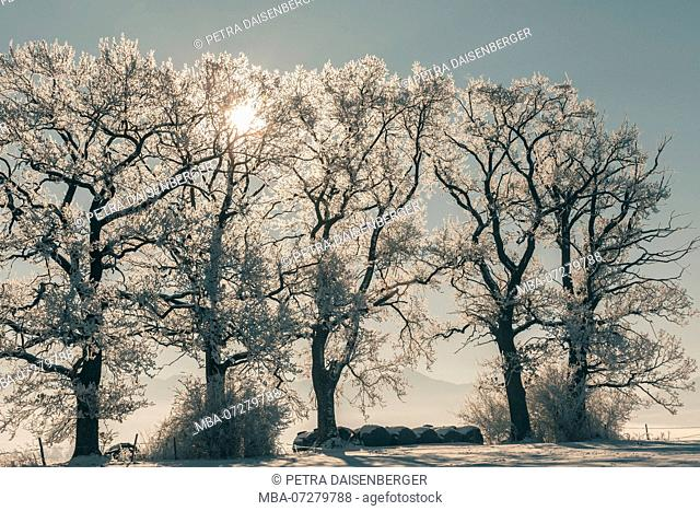 The winter, with ice, snow and trees in frosty coldness