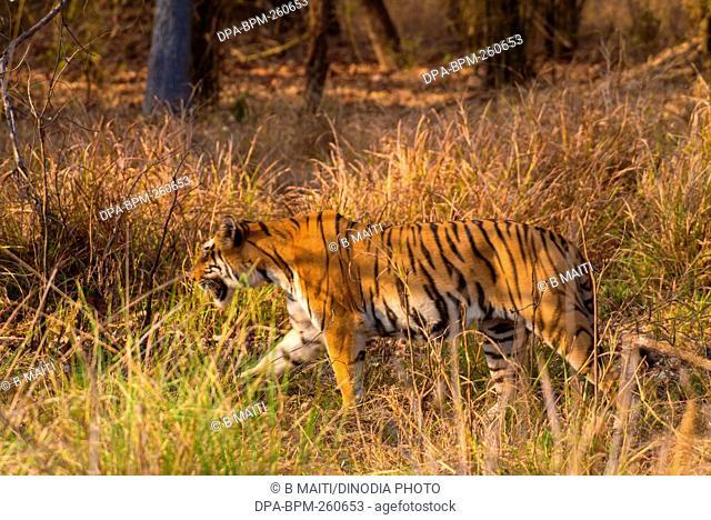 Royal Bengal tiger, Tadoba Wildlife Sanctuary, Maharashtra, India, Asia