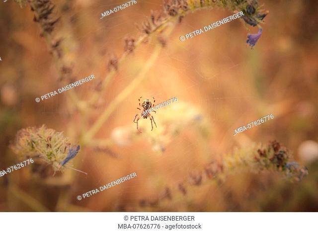 A cross spider (Araneus) lurking in her net for prey