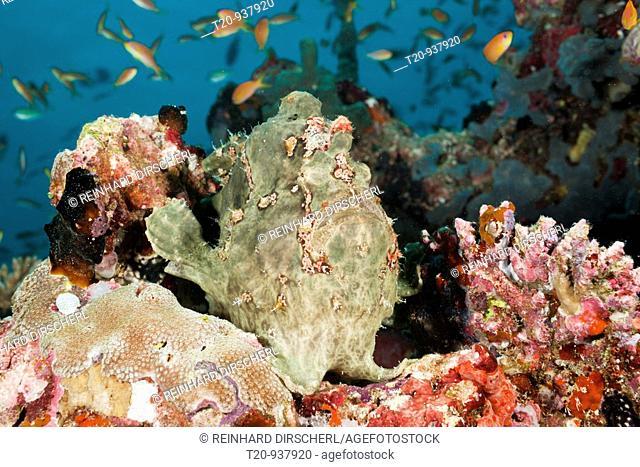 Green Giant Frogfish, Antennarius commersonii, North Ari Atoll, Maldives