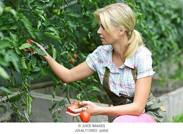 Woman picking tomatoes from plant in garden