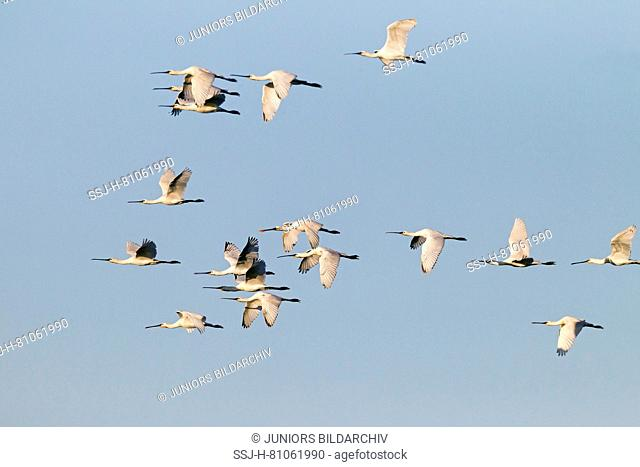 White Spoonbill ( Platalea leucorodia) , flock in flight
