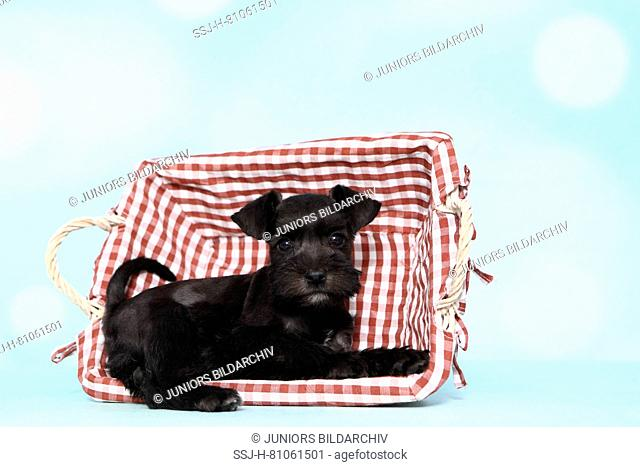 Miniature Schnauzer. Puppy sitting in a basket, seen against a light blue background. Germany
