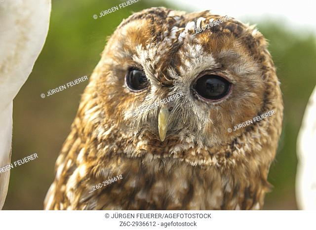 tawny owl or brown owl, Strix aluco, front view, captive bird, taken in Zahara, Andalusia, Spain