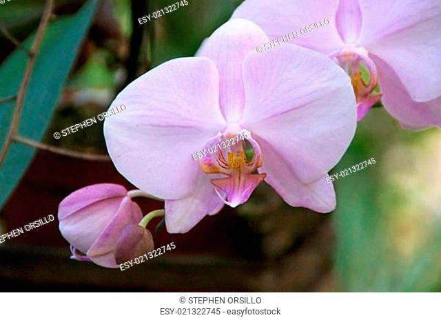 pink orchid in bloom