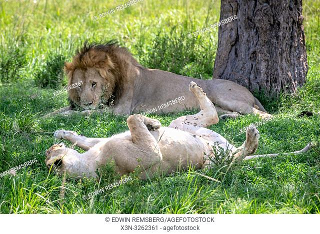 Two lions lay (Panthera leo) in the grass in Maasai Mara National Park, Kenya, Africa