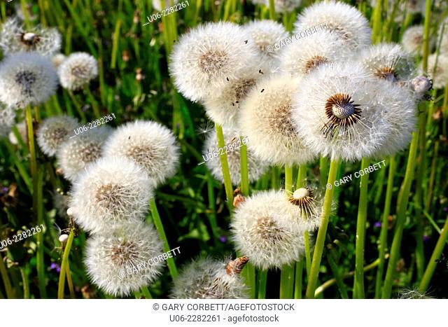 Dandelion seed heads or blowballs