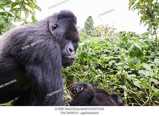 Close view of Silverback Mountain gorilla (Gorilla beringei beringei) member of Humba group. Virunga National Park, North Kivu, Democratic Republic of Congo