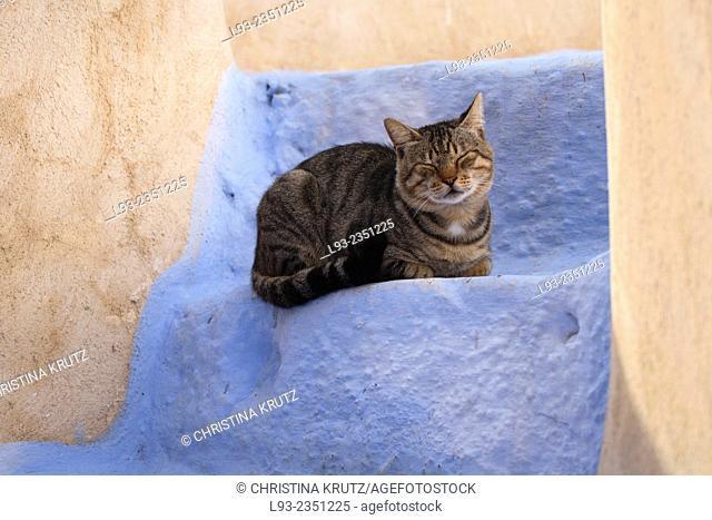 Domestic cat (Felis catus) in Oia, Santorini, Greece