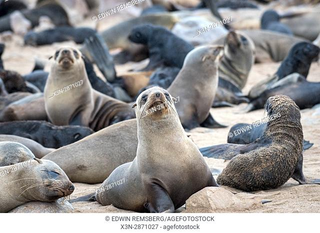 Cape fur seals resting at the Cape Cross Seal Reserve, located in Namibia, Africa