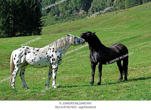 Noriker. Two stallions (leopard-spotted and black) squabbling on an alpine meadow, Austria