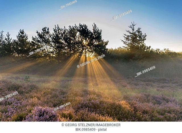 Sun rays penetrate the morning mist above heathlands, Henne Strand, Region of Southern Denmark, Denmark