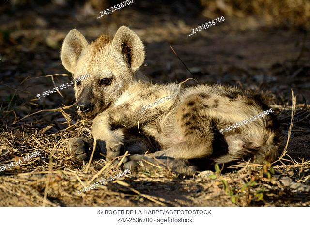 Spotted hyena, also known as the laughing hyena or hyaena (Crocuta crocuta) juvenile. Kruger National Park. Mpumalanga. South Africa