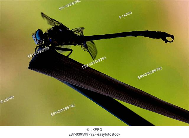side of wild yellow black dragonfly anax imperator on a wood leaf in the bush