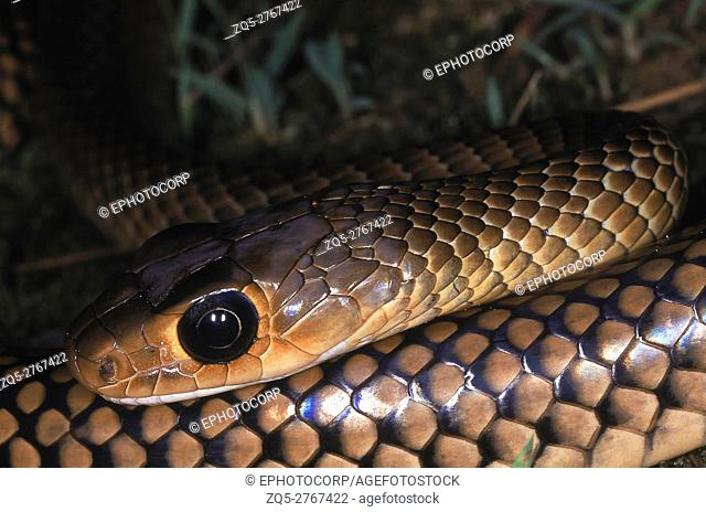 INDO-CHINESE RAT SNAKE Ptyas/ Coluber korros. Adult from Papum Pare district, Arunachal Pradesh, India