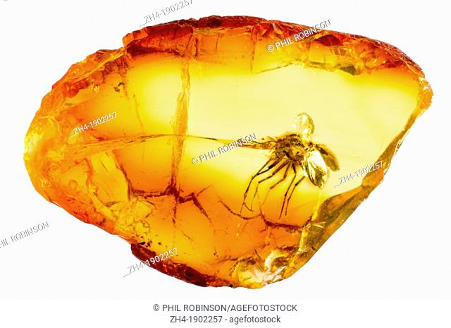 Prehistoric long-legged fly trapped in Baltic Amber from Lithuania