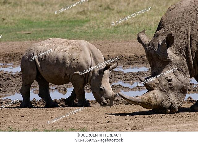 white rhino, Ceratotherium Simum, Sweetwaters, Laikipia, KENYA, Africa - SWEETWATERS, LAIKIPIA, KENYA, 24/09/2008