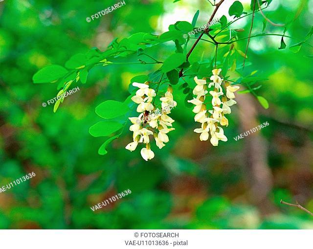 plants, nature, acacia, flower, plant, film