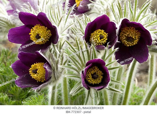Small Pasque Flower (Pulsatilla pratensis), native to Europe and Asia, Botanical Gardens in Innsbruck, Austria, Europe