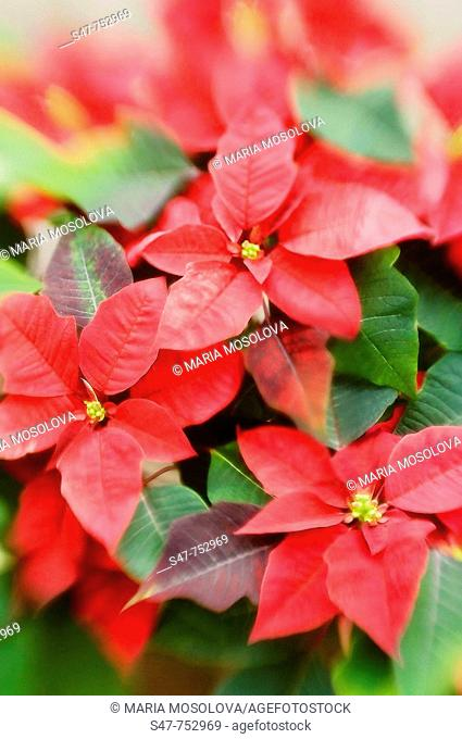 Poinsettia. Euphorbia pulcherrima. December 2007, Maryland, USA