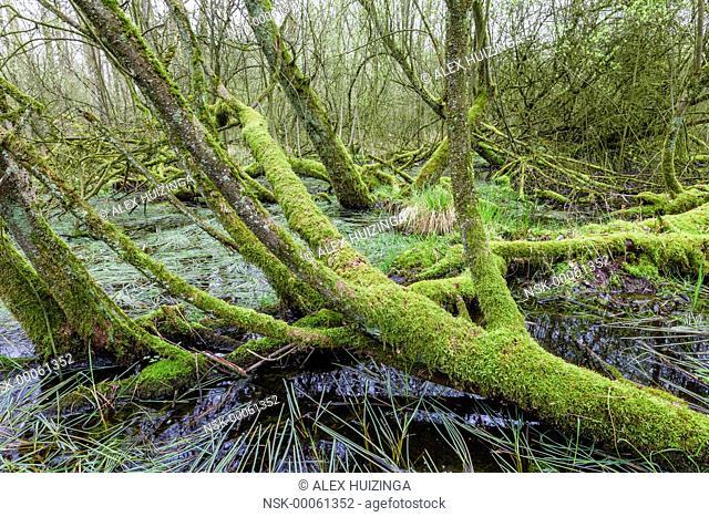 Alder (Alnus glutinosa) swamp forest, The Netherlands, Overijssel, Agelerbroek