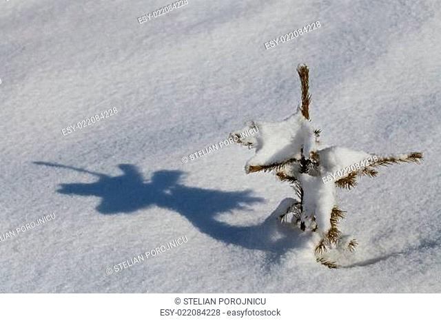 small pine in winter