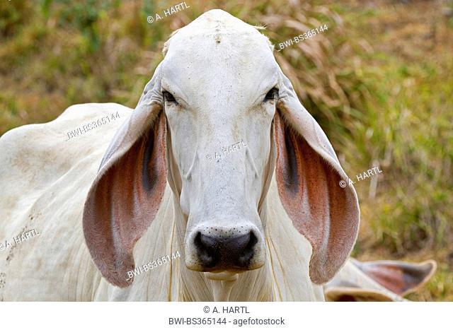 Zebu, Humped Cattle, Indicus Cattle (Bos primigenius indicus, Bos indicus), portrait, Costa Rica, Jaco