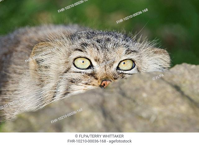 Pallas's Cat Felis manul adult, winter coat, close-up of head, peering over rock, captive
