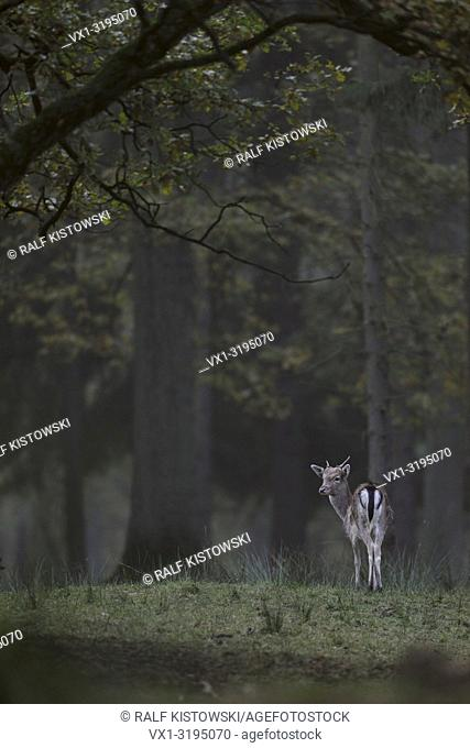 Young Fallow Deer (Dama dama) stands lonely inmidst of natural woods looking back for others.