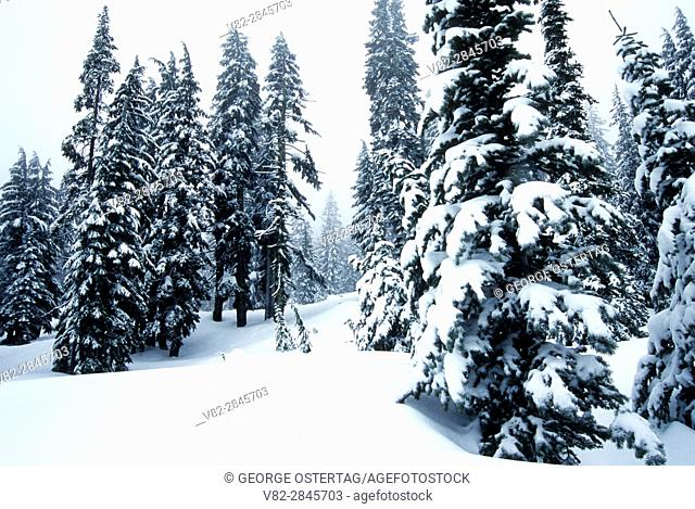 Forest in winter, Crater Lake National Park, Oregon