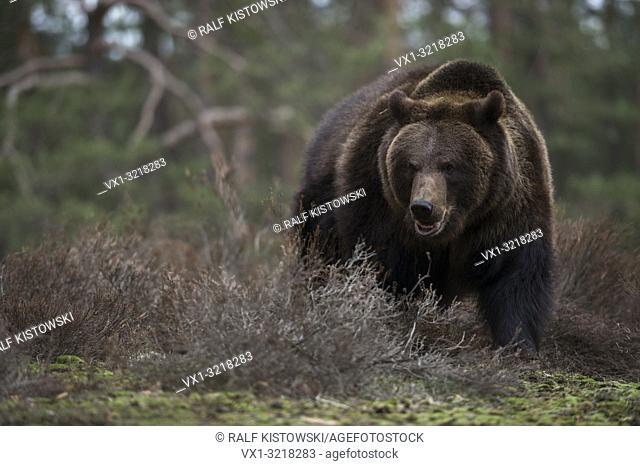 European Brown Bear / Europaeischer Braunbaer ( Ursus arctos ) standing in the undergrowth at the edge of a forest, dangerous encounter