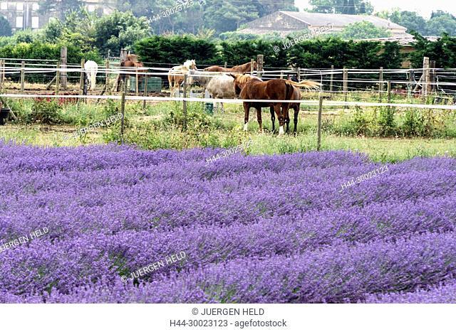 France Avignon, Bouche du Rhone, Provence, Avignon, Horse farm, Lavender