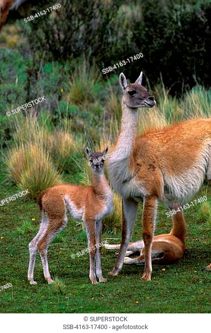 CHILE, TORRES DEL PAINE NAT'L PARK, GUANACOS, MOTHER WITH BABY CHULENGO