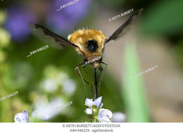 Bee Fly, Bombylius major feeding on Speedwell, Veronica sp., Wales