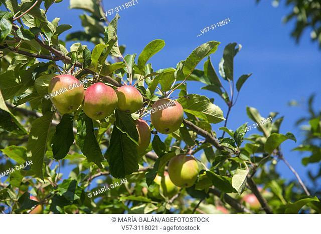 Apples in apple tree