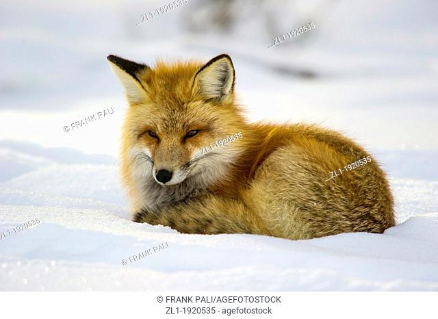 Adult red fox Vulpes vulpes Curls up and goes to sleep after hunting by the roadside at Yellowstone National Park. Mammoth Hot Springs, Wyoming, USA
