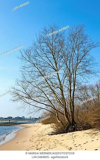 Silver willow, Salix alba, on the beach of river Elbe near Hamburg, Germany